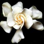 gardenia-OK
