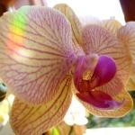 orquidea OK