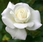 rosa catara pel meu etern estimat
